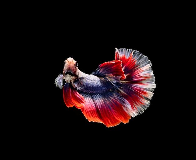 Betta-fische, siamesischer kampf, betta splendens lokalisiert auf schwarzem hintergrund Premium Fotos