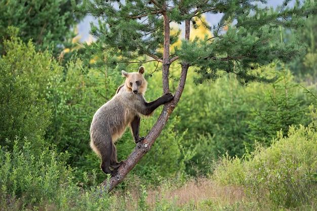 Bewegliches braunbärweibchen mit hellem fell, das einen baum in der sommernatur klettert Premium Fotos