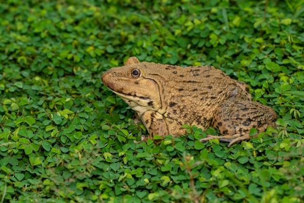 Bild des chinesischen essbaren frosches, ostasiatischer ochsenfrosch, taiwanesischer frosch (hoplobatrachus rugulosus) auf dem gras. amphibie. tier. Premium Fotos