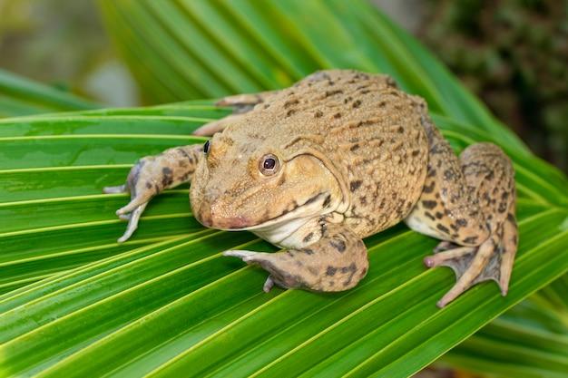 Bild des chinesischen essbaren frosches, ostasiatischer ochsenfrosch, taiwanesischer frosch (hoplobatrachus rugulosus) auf den grünen blättern. amphibie. tier. Premium Fotos