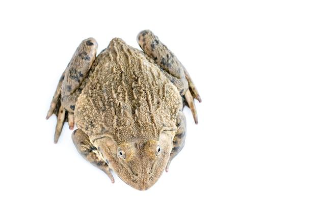 Bild des chinesischen essbaren frosches, ostasiatischer ochsenfrosch, taiwanesischer frosch (hoplobatrachus rugulosus) lokalisiert auf einem weißen hintergrund. amphibie. tier. Premium Fotos