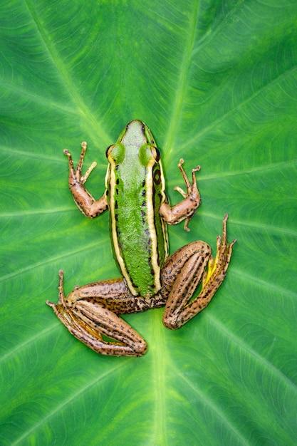 Bild des grünen frosches des reisfelds oder des grünen paddy-frosches (rana erythraea) auf dem grünen blatt. amphibie. tier. Premium Fotos