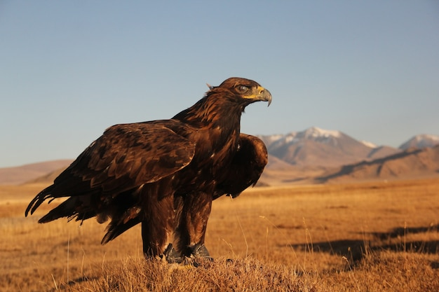 Bild eines steinadlers, der bereit ist, in einem verlassenen gebiet mit bergen zu fliegen Kostenlose Fotos
