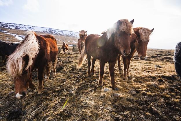Bild von islandpferden, die durch das feld gehen, das im gras und im schnee in island bedeckt ist Kostenlose Fotos