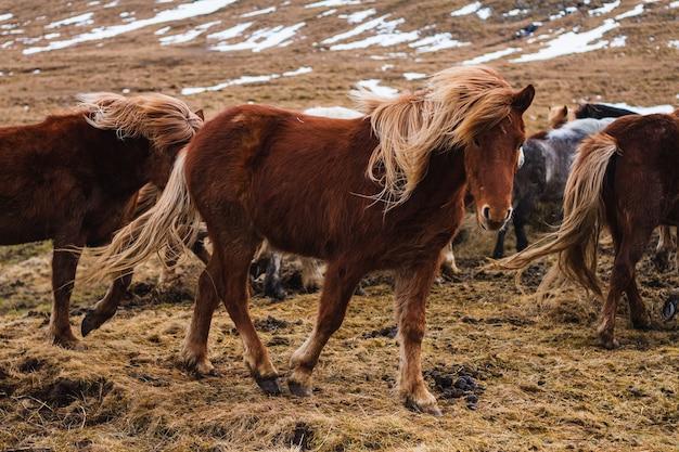 Bild von islandpferden, die durch das feld laufen, das im gras und im schnee in island bedeckt ist Kostenlose Fotos