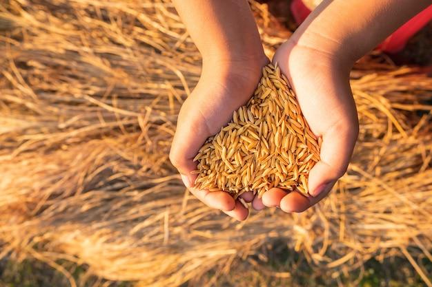 Bio-paddy in händen Premium Fotos