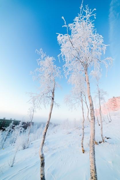 Birken im raureif, morgen, frostige morgendämmerung in der arktischen tundra. die sonne geht über einer kleinen stadt auf. Premium Fotos
