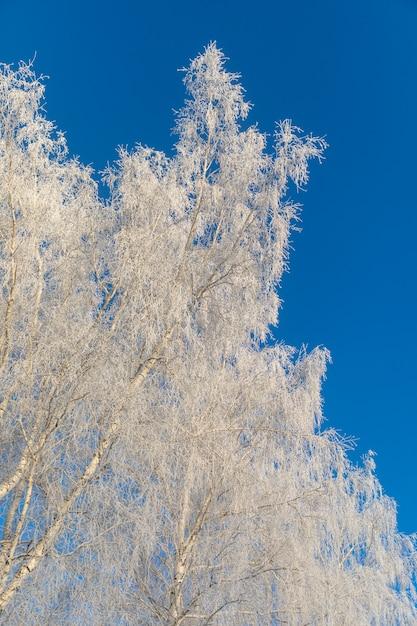 Birken sind mit raureif und schnee vor einem blauen himmel bedeckt. winterfrostige landschaft in sibirien, russland Premium Fotos