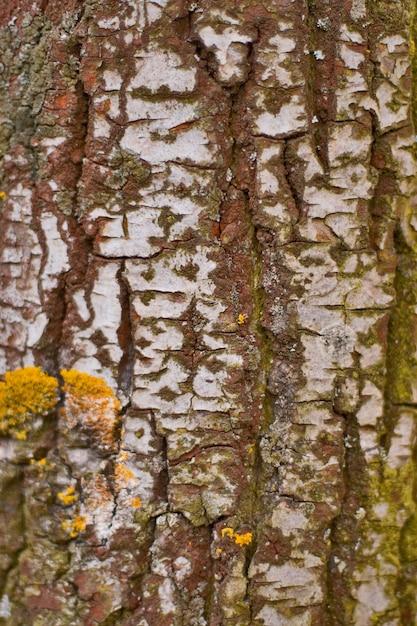 Birkenrindeabschluß herauf hintergrund Premium Fotos