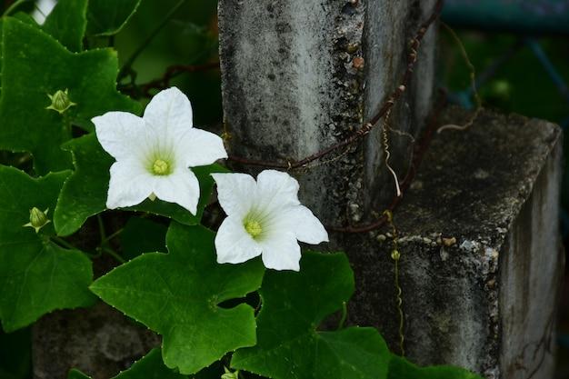Bittere kürbisblume, natürliche efeukürbisblume mit grün verlässt hintergrund. Premium Fotos