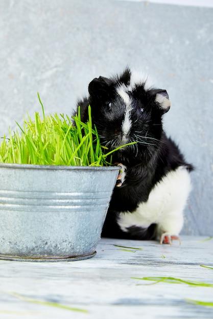 Blacck-meerschweinchen nahe vase mit frischem gras. Premium Fotos