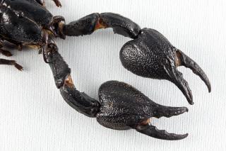 Black scorpion krallen ausgestopfte Kostenlose Fotos