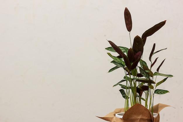 Blätter einer zimmerpflanze ktenana gegen eine helle wand. schöner hintergrund, platz für text. Premium Fotos
