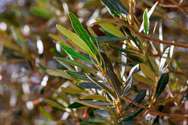 Blätter, stängel und zweige des olivenbaums. unscharfe textur von grüntönen (oliv, hell und dunkel, ocker) Premium Fotos