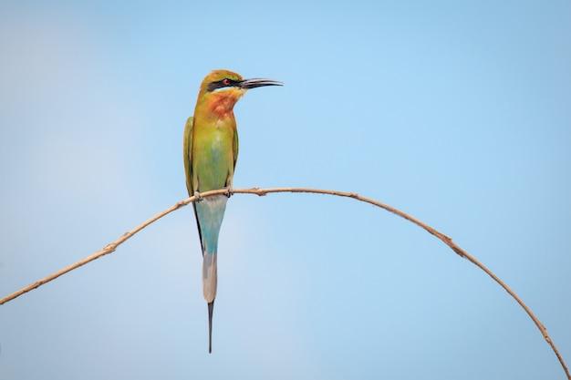 Blau-angebundener bienenfresser, vogel Premium Fotos