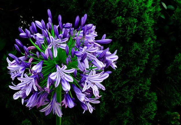 Blaue und purpurrote farbafrikanische lilie (blaue lilie des kaps) blühend im garten mit dunklem hintergrund der kiefer. Premium Fotos