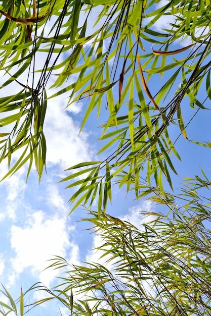 Blauer bambushimmel des blattes Premium Fotos