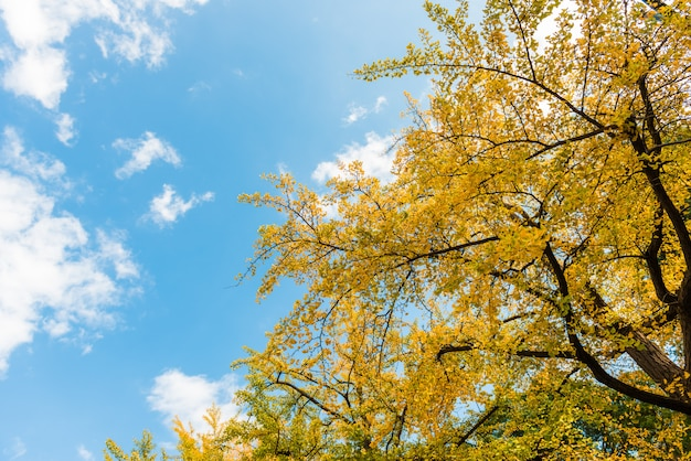 Blauer himmel und ginkgo Premium Fotos