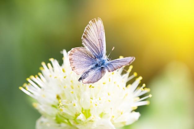 Blauer schmetterling, auf einer blume, frühlingsinsekt Premium Fotos