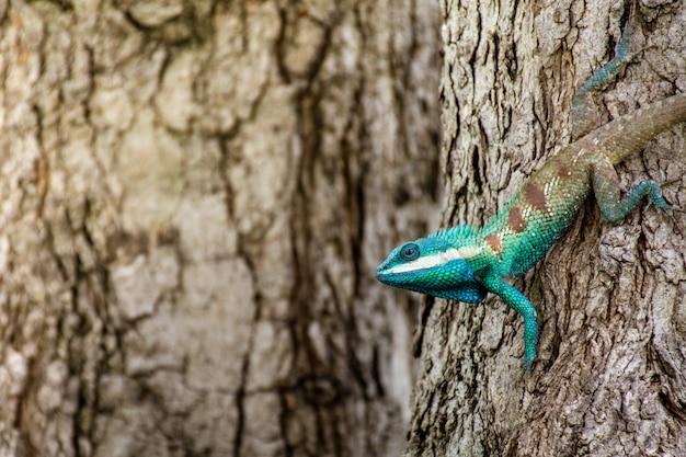 Blaues chamäleon im tropischen bereich auf dem baum Premium Fotos