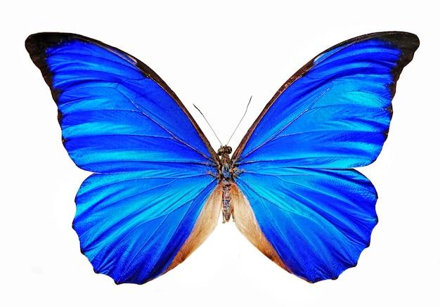 Blaues schmetterling morpho anaxibia lokalisiert Premium Fotos