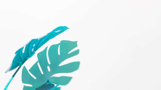 Blaues und grünes monstera verlässt auf weißem hintergrund Kostenlose Fotos