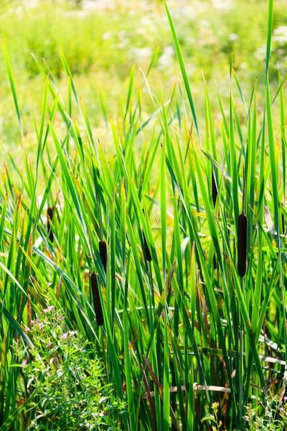 Blick auf den typha latifolia Premium Fotos