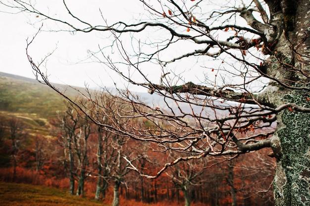 Bloße beerch bäume auf herbstbergen, bei karpaten, ukraine, europa. Premium Fotos