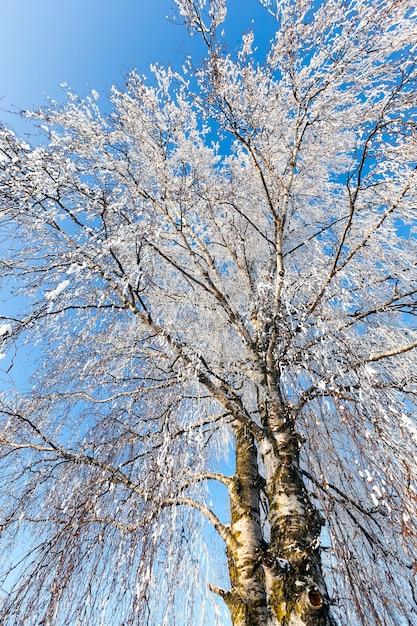 Bloße birke, deren zweige vollständig mit weißem frost bedeckt sind, das sonnige frostwetter im winter Premium Fotos