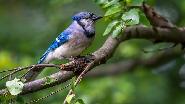 Blue jay Kostenlose Fotos