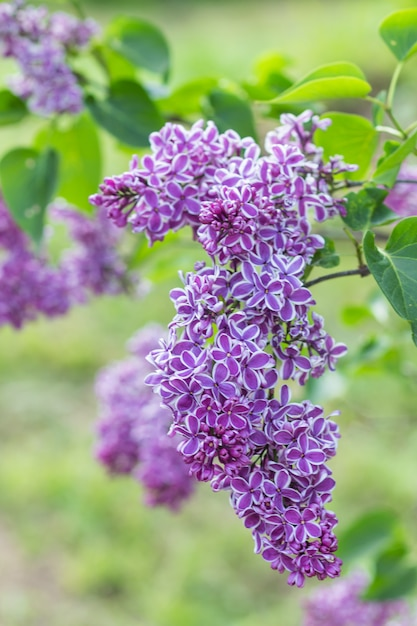 Blühende flieder im botanischen garten Premium Fotos