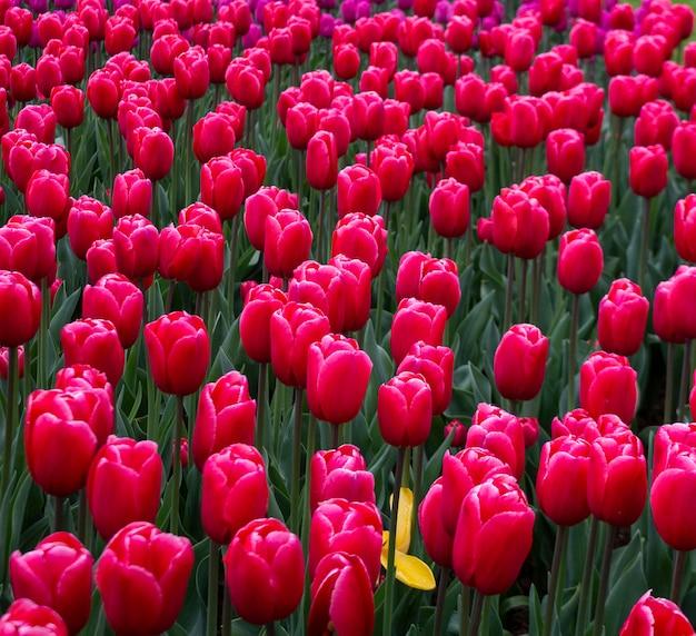 Blühende fuchsiafarbene tulpen keukenhofs weltgrößter blumengartenpark. Premium Fotos