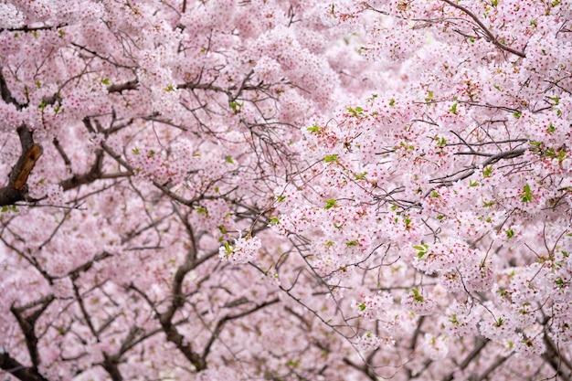 Blühende kirschblüte-kirschblüte Premium Fotos