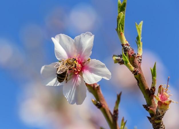 Blühende mandelblumen in einem garten in portugal. algarve Premium Fotos