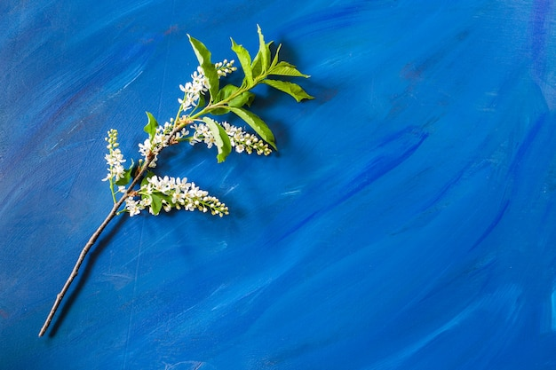 Blühende niederlassung der vogelkirsche liegt auf modischem blauem hintergrund mit kopienraum. Premium Fotos