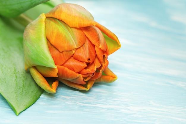 Blühende orange tulpennahaufnahme auf einem blauen beton Premium Fotos
