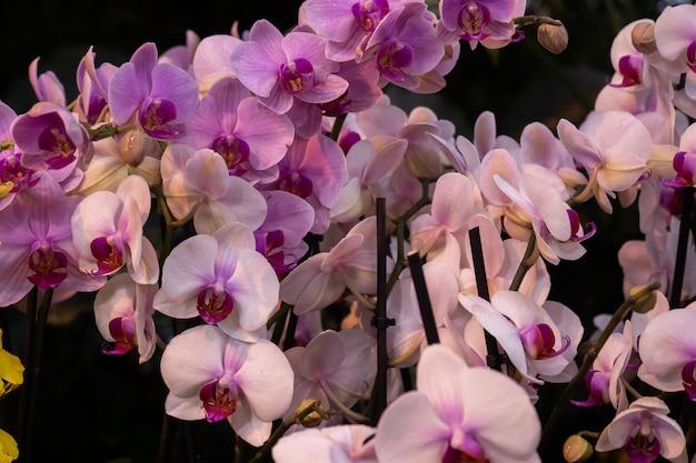Blühende orchideen im gewächshaus. farbige orchideenblumen wachsen in einem tropischen wintergarten. Premium Fotos