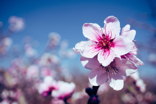 Blühende rosa pfirsichblüte mit unschärfehintergrund Premium Fotos