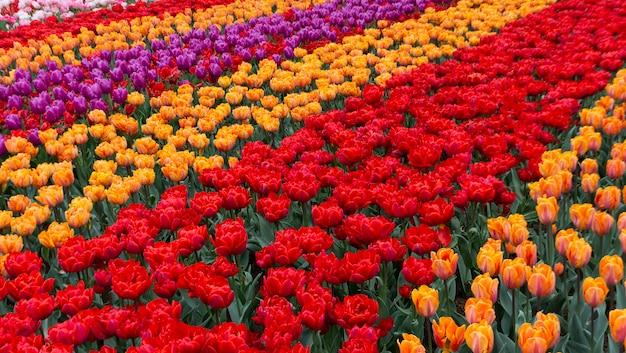 Blühende tulpen im keukenhof, dem weltgrößten blumengartenpark Premium Fotos