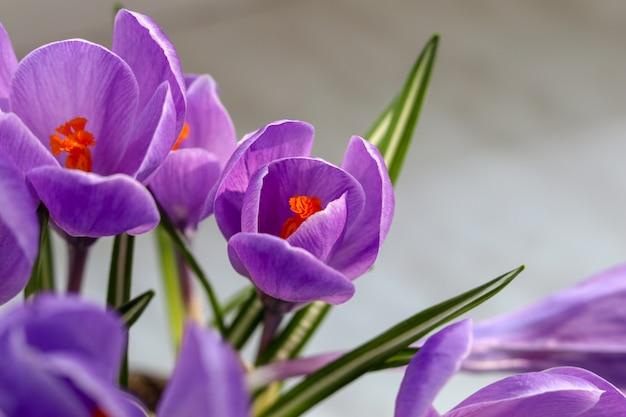 Blühende violette krokusse auf grauem hintergrund Premium Fotos