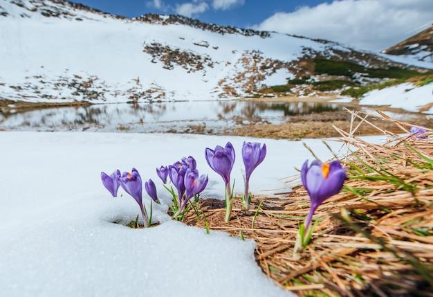 Blühende violette krokusse in den bergen. karpaten, ukraine, europa Premium Fotos