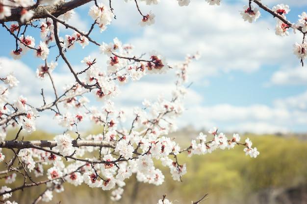 Blühende zweige der kirsche im frühjahr, weich sonnig Premium Fotos
