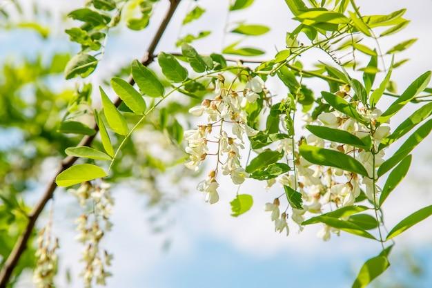 Blühender akazienbaum im garten. tiefenschärfe. Premium Fotos