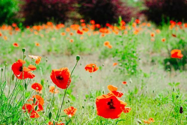 Blühender hintergrund der blumenmohnblume Premium Fotos