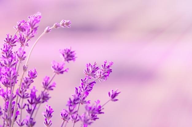 Blühender lavendel im sonnenlicht, in den pastellfarben und im unschärfehintergrund. weicher lichteffekt. Premium Fotos