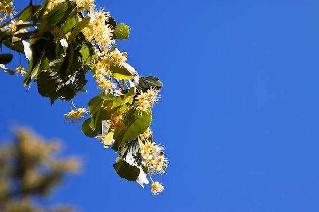 Blühender lindenzweig Kostenlose Fotos