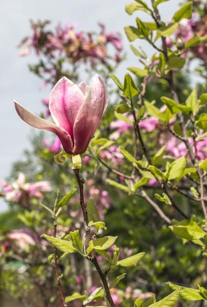 Blühender magnolienbaum nah oben, konzept der blumen und des frühlings Kostenlose Fotos