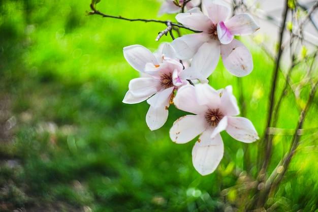 Blühender magnolienbaum Premium Fotos