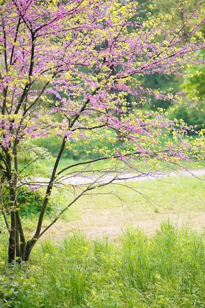 Blühender redbud-baum Premium Fotos