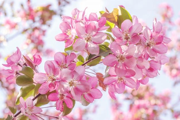 Blühender rosa apfelbaum Premium Fotos